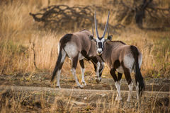 Gemsbok oryx in South Africa Stock Photos