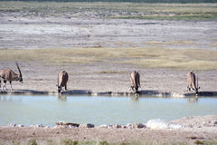Gemsbok (Oryx) at waterhole Stock Images