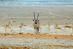 Gemsbok Oryx at a waterhole surrounded by black faced Impala Royalty Free Stock Images