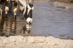 Gemsbok & x28; Oryx& x29; Zdjęcia Royalty Free