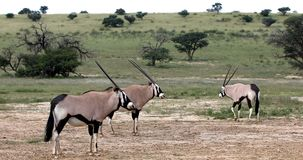 Gemsbok oryxantilopgazella i Kalahari, Sydafrika stock video