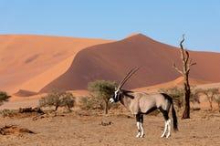Gemsbok oryxantilopgazella på dyn, Namibia djurliv royaltyfri fotografi