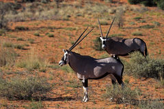 Gemsbok oryxes in red Kalahari desert dunes Stock Images