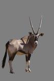Gemsbok (OryxGazella) Lizenzfreies Stockbild