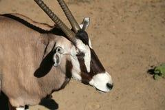Gemsbok ou gemsbuck (gazella d'oryx) Images libres de droits