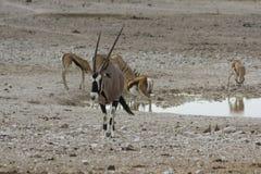 Gemsbok på att bevattna hålet i den Etosha nationalparken, Namibia Royaltyfri Bild