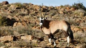 Gemsbok - parco nazionale di karoo Fotografia Stock Libera da Diritti