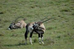 gemsbok pastwiska Fotografia Stock