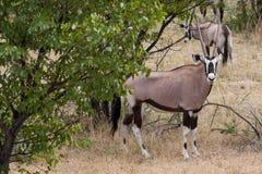 Gemsbok Patrzeje kamerę w sawannie, Etosha park narodowy, Namibia Zdjęcia Stock