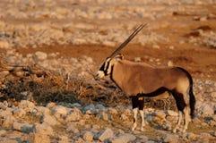 Gemsbok pendant la saison sèche Photographie stock