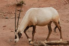 Gemsbok in the Phoenix Zoo. This is a photo of a gemsbok taken at the Phoenix Zoo in Arizona while I was on vacation February 2017 Stock Photos