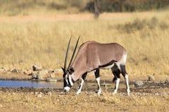 Gemsbok pije przy waterhole Fotografia Stock