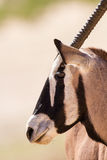 Gemsbok portrait standing in the hot kalahari sun Royalty Free Stock Images
