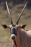 Gemsbok Profile Stock Photo