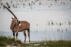 Gemsbok que coloca el agua cercana Imagen de archivo