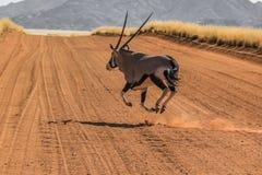 Gemsbok que corre en el camino de tierra Foto de archivo