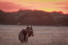 Gemsbok que se coloca en hierba en la puesta del sol Fotos de archivo