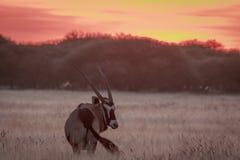 Gemsbok que se coloca en hierba en la puesta del sol Imagen de archivo libre de regalías