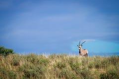 Gemsbok on a ridge. Royalty Free Stock Photography