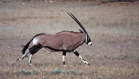 Gemsbok running Stock Photo