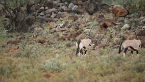 Gemsbok running Stock Photos