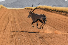 Gemsbok running. A Gemsbok running at breakneck speed runs on the road strerra D707, an isolated road in the middle of the Namib Desert, Namibia (Africa Stock Photo