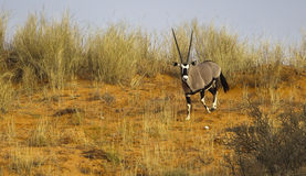 Gemsbok on sand dune royalty free stock images
