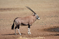 Gemsbok side royalty free stock image