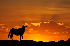 Gemsbok silhouette Stock Photography