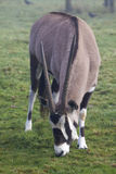 Gemsbok Stock Photo