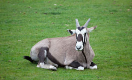 Gemsbok sitting on grass Stock Photos