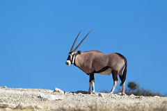 Gemsbok on skyline in desert Stock Photos