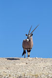 Gemsbok on skyline in desert Royalty Free Stock Photos