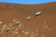 Gemsbok - Sossusvlei - Namibië Stock Fotografie
