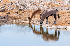 Gemsbok and Springbok at the water pool in Etosha park, Namibia Royalty Free Stock Photo