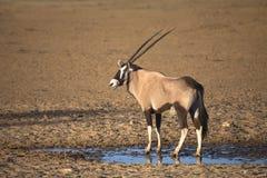 Gemsbok stand ein waterhole in der Wüste bereit Stockbilder
