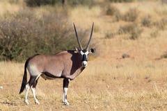 Gemsbok standing in desert Stock Photo
