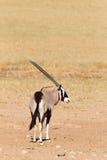 Gemsbok standing in desert Royalty Free Stock Photo