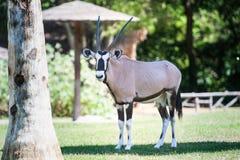 Gemsbok standing in grassland looking straight to camera Stock Photography