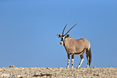 Gemsbok standing on top of a rocky hill Royalty Free Stock Images