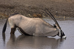 Gemsbok standing in waterhole Stock Photography