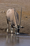 Gemsbok standing at waterhole Stock Photo