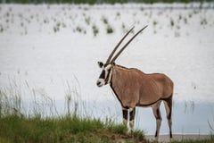 Gemsbok stoi blisko wody Fotografia Stock