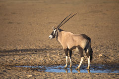 Gemsbok stood by a waterhole in the desert Stock Images