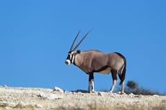 Gemsbok sur l'horizon dans le désert Photos stock