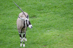 Gemsbok Royalty Free Stock Photo