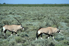 Gemsbok traveling in bushland Royalty Free Stock Photo