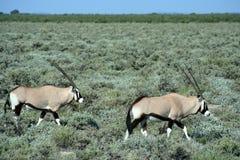 Gemsbok traveling in bushland Royalty Free Stock Photo