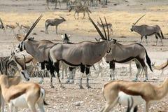 Gemsbok w Namibia Zdjęcia Royalty Free
