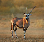 Gemsbok w pustyni Fotografia Royalty Free